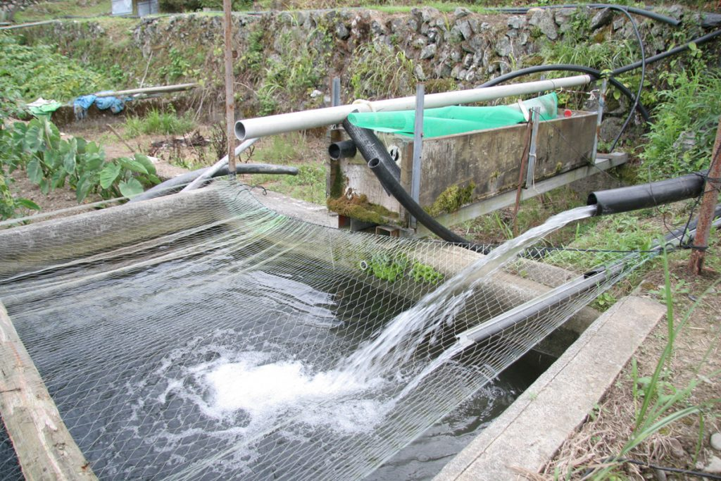 アマゴの養殖シーン